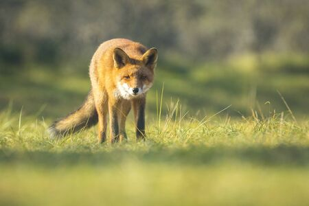 scavenging: Wild young red fox (vulpes vulpes) vixen scavenging. The sun light and the colors of Autumn or Fall season on the background.