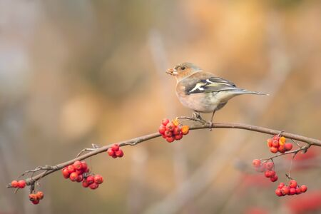 sorbus: A male chaffinch, Fringilla coelebs, eating Sorbus, rowan, berries from a tree. Fall colors are clearly visible.
