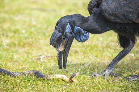 a large bird of prey: A Abyssinian or northerm ground hornbill, playing with a toy snake. These birds can be found in Africa, north of the equator and is one of the two largest species of hornbill Stock Photo