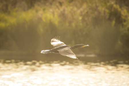 phalacrocoracidae: Great Cormorant, Phalacrocoracidae, flying at a low level above the water surface.