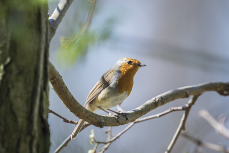 erithacus: European robin (Erithacus rubecula) singing Stock Photo
