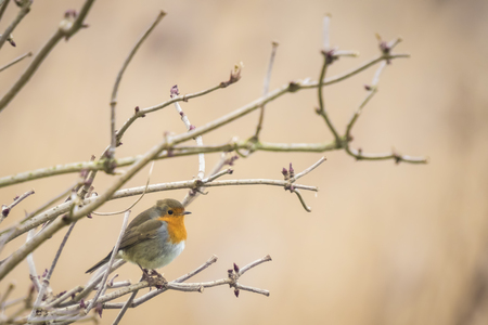 erithacus: European robin (Erithacus rubecula) singing in a winter landscape setting. Stock Photo