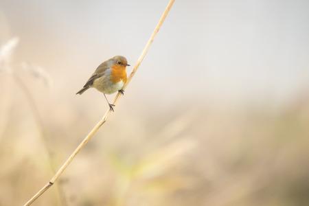 erithacus rubecula: European robin (Erithacus rubecula) singing in a winter landscape setting. Stock Photo