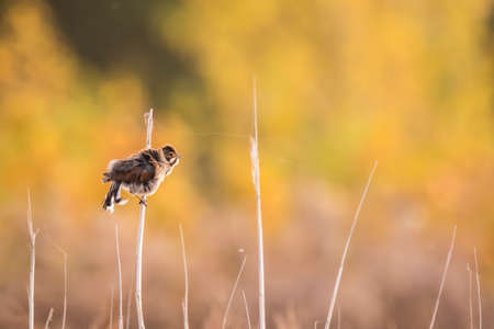 common reed: A female common reed bunting, Emberiza schoeniclus, sings a song on a reed plume. The colors of Fall are clearly visible on the background. Stock Photo