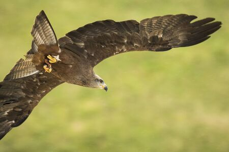 milvus: Red kite (Milvus milvus) in flight while hunting for a prey