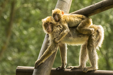 sylvanus: Closeup of a Barbary macaque carrying a baby. Backlit with beautiful natural sunlight.