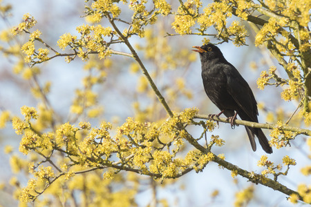 yellow blossom: A male european Blackbird (turdus merula) singing in a tree with yellow blossom on a clear, sunny day in Spring season. Stock Photo