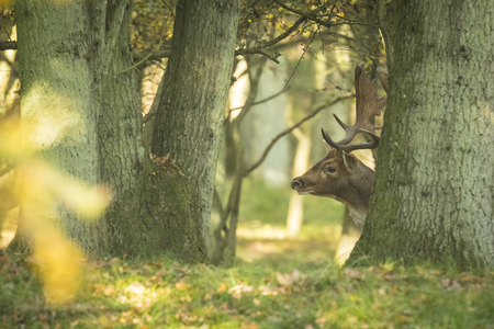 rutting: Fallow deer (Dama Dama) male during rutting season hiding in a dense and dark forest. The Autumn sunlight and nature colors are clearly visible on the background.