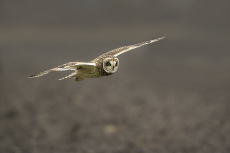 Short-eared Owl (Asio flammeus) hunting above a field during dusk in winter.