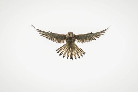 Common kestrel, Falco tinnunculus, hovering in the sky while hunting for a prey. The background is white.