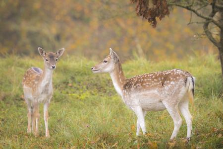 Twee Fallow herten (Dama Dama) fawn in het najaarseizoen. De herfst mist en natuur kleuren zijn duidelijk zichtbaar op de achtergrond. Stockfoto - 50564857