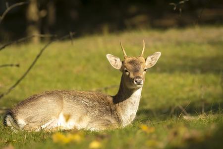 Damhert (Dama Dama) mannelijke rusten in een weiland. De herfst zonlicht en de natuur kleuren zijn duidelijk zichtbaar op de achtergrond. Stockfoto