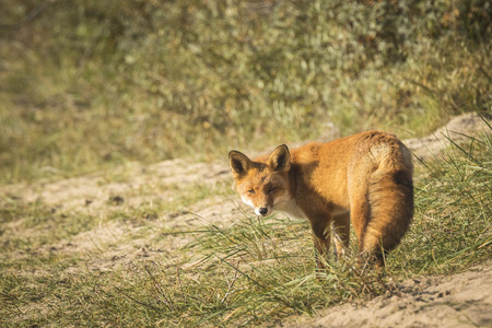 scavenging: Wild young red fox (vulpes vulpes) vixen scavenging in a forest
