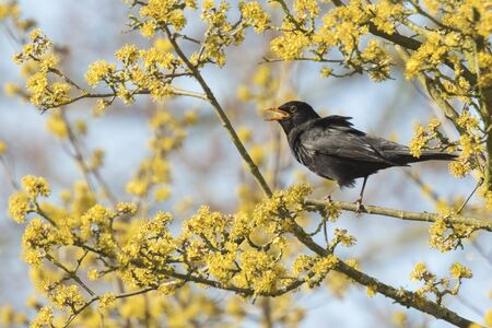 turdus: A male european Blackbird (turdus merula) singing in a tree with yellow blossom on a clear, sunny day in Spring season. Stock Photo