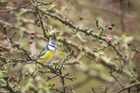 cyanistes: Eurasian blue tit (Cyanistes caeruleus) eating berries of a bush. Its Autumn season and the berries should be their last treat before winter falls. Stock Photo