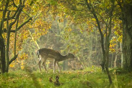 Damhert (Dama Dama) reekalf in het najaar seizoen. De mist van de herfst en de natuur kleuren zijn duidelijk zichtbaar op de achtergrond. Stockfoto - 50877064