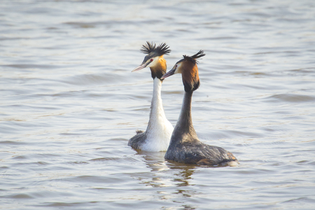 cristatus: Two great crested grebe Podiceps cristatus mating in spring season