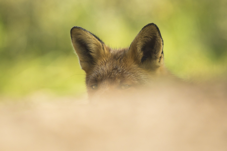 mystique: Wild red fox (vulpes vulpes) raises her head and ears and listens carefully for any threats. Her eyes are just above the foreground making the picture mystique Stock Photo