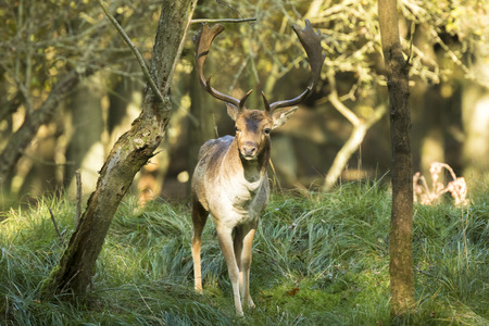rutting: Fallow deer (Dama Dama) male during rutting season. The Autumn sunlight and nature colors are clearly visible on the background when the deer is stepping out of the forest.