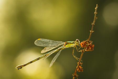 viridis: Willow emerald damselfly or western willow spreadwing (Chalcolestes viridis) drying wings bathing in sunlight. Stock Photo