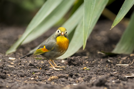 leiothrix: Red-billed leiothrix or Japanese nightingale, Leiothrix lutea, walking through a tropical setting on ground level. Stock Photo
