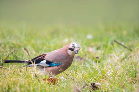 garrulus: Eurasian jay (Garrulus glandarius) searching in a meadow for insects to feed.