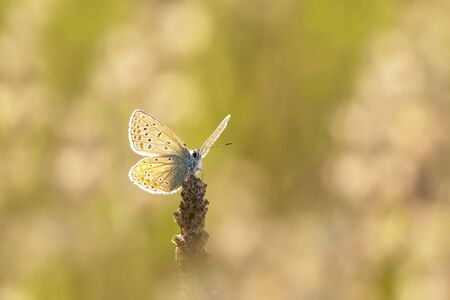 common blue: Early morning Common Blue butterfly pollinating on a flower Stock Photo