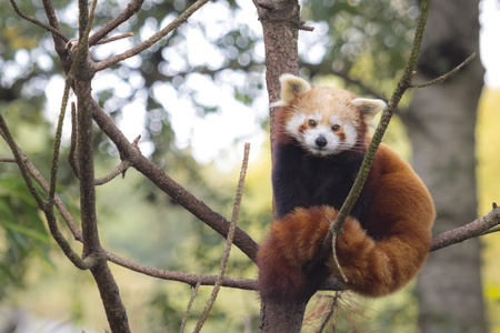 panda: Little red panda resting in a tree facing the camera. This is a small arboreal mammal native to the eastern Himalayas and southwestern China that has been classified as endangered by the IUCN.