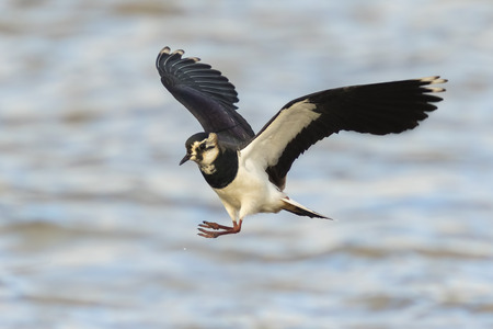 water wings: closeup of a Northern Lapwing, Vanellus Vanellus, in flight above water with wings spread.