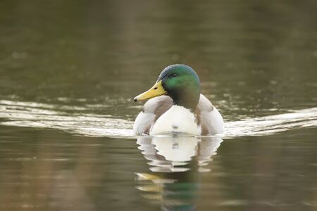 dabbling: A male mallard dabbling wild duck swimming towards the camera. Stock Photo