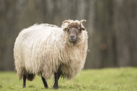 fuzz: Sheep is shaking off fuzz and fluff. Flocks of hair are flying in the air. It is almost Spring, then the wool of this sheep will be sheared again...