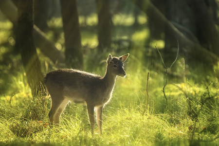 rutting: Fallow deer (Dama Dama) fawn in Autumn season. The Autumn fog, nature colors and sun rays are clearly visible on the background. Stock Photo