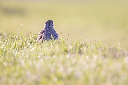 falco: Common Kestrel (falco tinnunculus) perched in a meadow during his hunt.