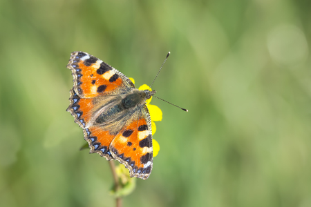 tortoiseshell: Close-up of the small tortoiseshell (Aglais urticae) butterfly eating nectar from a flower, top view on the wings. Stock Photo