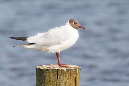 ridibundus: Close-up of a Black-headed gull, Chroicocephalus ridibundus, resting in sunlight on a pole