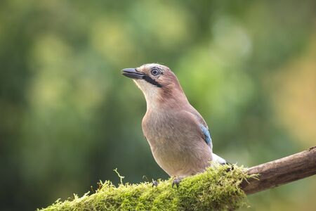 glandarius: Closeup of a Eurasian jay bird (Garrulus glandarius) perched on a branch