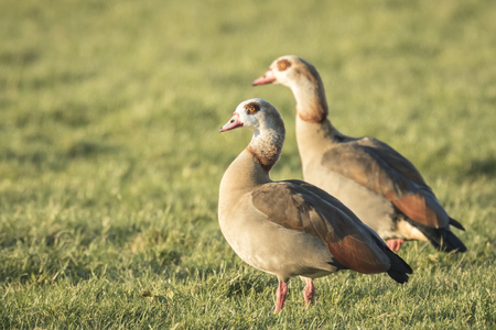 alopochen: Egyptian geese (Alopochen aegyptiacus) on a meadow. They are native to Africa south of the Sahara and the Nile Valley Stock Photo
