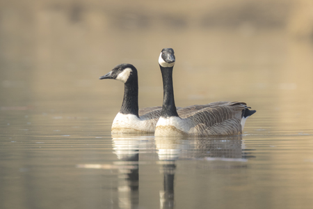 canadensis: Closeup portrait of two Canadian geese, Branta Canadensis, couple swimming on the lake water surface,