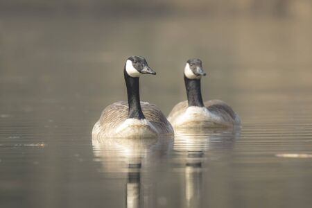 canadian geese: Closeup portrait of two Canadian geese, Branta Canadensis, couple swimming on the lake water surface,