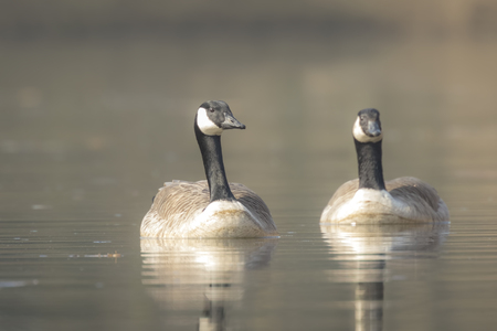 branta: Closeup portrait of two Canadian geese, Branta Canadensis, couple swimming on the lake water surface,
