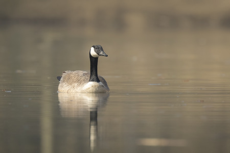 canadensis: Closeup portrait of a Canadian goose, Branta Canadensis,  swimming on the lake water surface