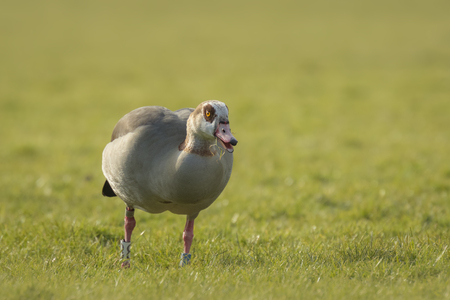 aegyptiaca: Egyptian goose (Alopochen aegyptiacus) eating grass on a meadow during Spring season in the Netherlands. They are native to Africa south of the Sahara and the Nile Valley.