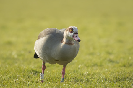 alopochen: Egyptian goose (Alopochen aegyptiacus) eating grass on a meadow during Spring season in the Netherlands. They are native to Africa south of the Sahara and the Nile Valley.