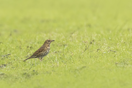 foraging: Song thrush (Turdus philomelos) foraging in a meadow, searching for insects to eat.