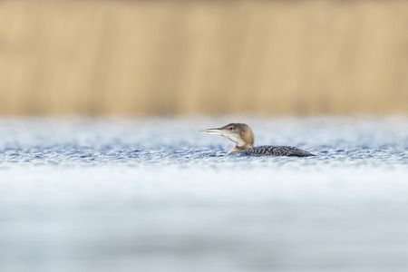 gavia: Common loon (Gavia immer) also known as the great northern diver or great northern loon hunting and eating crayfish