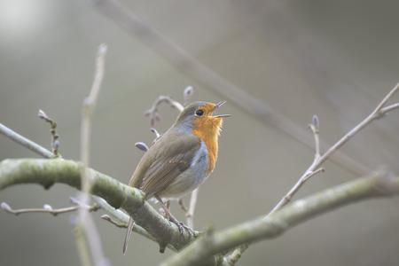 redbreast: European robin redbreast (Erithacus rubecula) bird singing and display during Spring season in search for a mate.