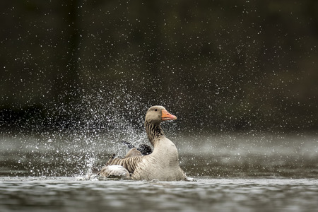 preening: Greylag goose (Anser anser) preening and splashing in the water, cleaning his feathers and plumage..