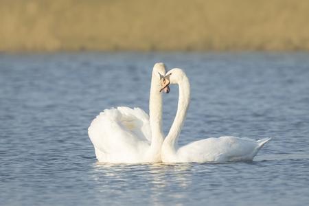 mute swan: Mute swan couple in love