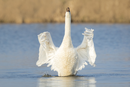 flapping: Mute swan, Cygnus olor, flapping wings to dry after preening on the water surface on a sunny day. Stock Photo