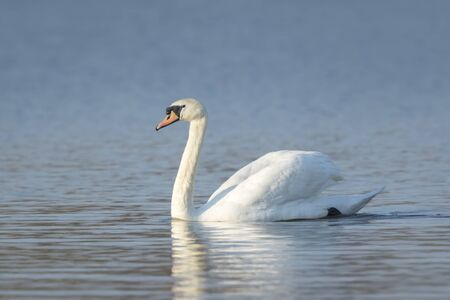 territorial: Mute swan, Cygnus olor, swimming on the blue water surface. It is a sunny day. Stock Photo